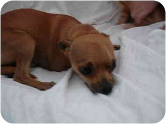 Chihuahua Mix Dog for adoption in Temecula, California - LITTLE MAN