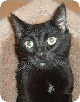 Domestic Shorthair Cat for adoption in Las Vegas, Nevada - Espresso