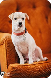 Jack Russell Terrier/Pug Mix Dog for adoption in Portland, Oregon - BooBoo