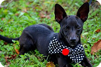 Chihuahua/Terrier (Unknown Type, Small) Mix Dog for adoption in Baton Rouge, Louisiana - Waldo