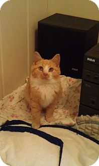 "Domestic Shorthair Cat for adoption in Cleveland, Ohio - ""Butters"""