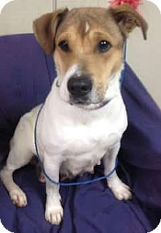Jack Russell Terrier Mix Dog for adoption in Avon, New York - Eva