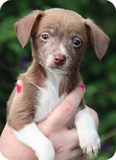 Dachshund/Chihuahua Mix Puppy for adoption in Yuba City, California - Scooter