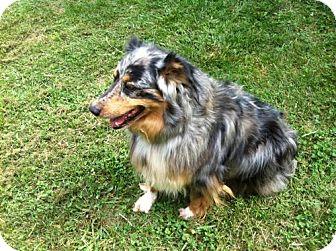 Australian Shepherd Mix Dog for adoption in Bloomington, Indiana - Wiggles