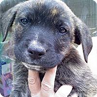 Adopt A Pet :: Nash - Harrisburgh, PA