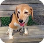 Beagle Dog for adoption in Wheaton, Illinois - Maggie