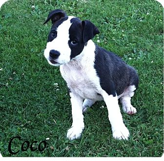 Pit Bull Terrier Mix Puppy for adoption in Battle Ground, Washington - Coco