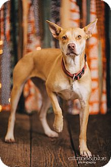 Australian Cattle Dog/Shiba Inu Mix Dog for adoption in Portland, Oregon - Sofie