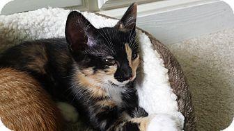 Calico Kitten for adoption in Rochester, Minnesota - Cofee