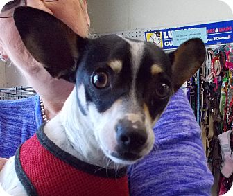 Rat Terrier Mix Dog for adoption in Middletown, New York - JD