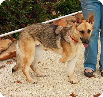 German Shepherd Dog Dog for adoption in Flower Mound, Texas - Bella