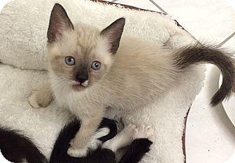 Siberian Kitten for adoption in Tampa, Florida - Ella