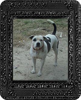 American Bulldog/Bulldog Mix Dog for adoption in Blountstown, Florida - Suzy