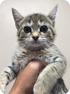 Domestic Shorthair Kitten for adoption in Cashiers, North Carolina - Sandy