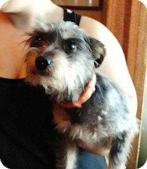 Yorkie, Yorkshire Terrier Mix Dog for adoption in springtown, Texas - Monkey
