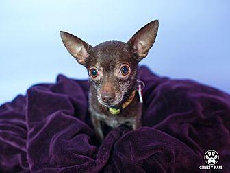 Chihuahua Mix Dog for adoption in Studio City, California - Yogi