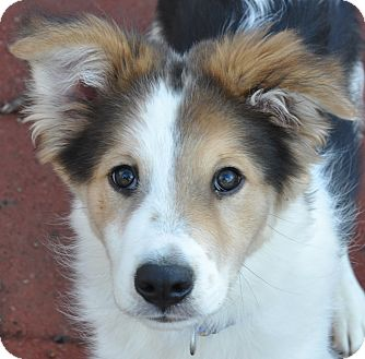 Collie/Shepherd (Unknown Type) Mix Puppy for adoption in Southington, Connecticut - Maverick