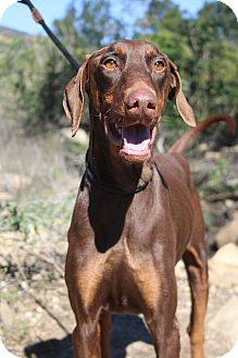 Doberman Pinscher Dog for adoption in Fillmore, California - Scarlet