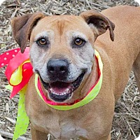 Boxer/Labrador Retriever Mix Dog for adoption in Kingston, Tennessee - Holly