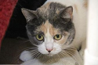 Domestic Shorthair/Domestic Shorthair Mix Cat for adoption in Palm Springs, California - Erica