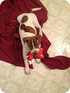 Australian Cattle Dog Mix Puppy for adoption in Seneca, South Carolina - Kiara $250