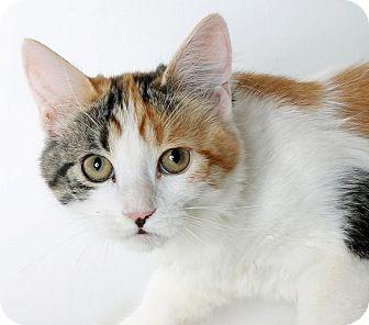 Domestic Shorthair Cat for adoption in Mountain Center, California - Mai Tai