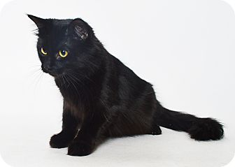 Domestic Mediumhair Cat for adoption in Fruit Heights, Utah - Spooks