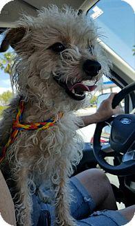 Poodle (Miniature)/Miniature Pinscher Mix Dog for adoption in Las Vegas, Nevada - Bear