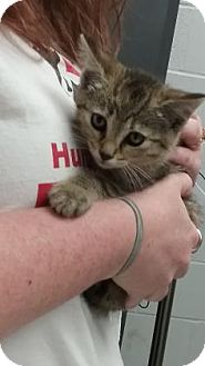 Domestic Shorthair Kitten for adoption in Paducah, Kentucky - Attilla