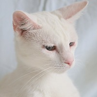 Adopt A Pet :: Vanilla - Allentown, PA