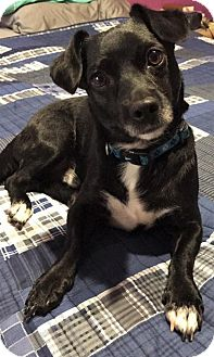 Jack Russell Terrier/Feist Mix Dog for adoption in Arlington, Virginia - Carter