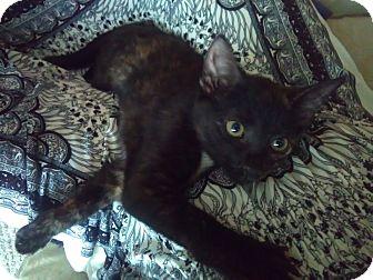 American Shorthair Kitten for adoption in Eustis, Florida - Kitty