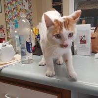 Adopt A Pet :: Cracker Jack - Cody, WY