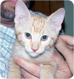 Domestic Shorthair Kitten for adoption in Overland Park, Kansas - Dash