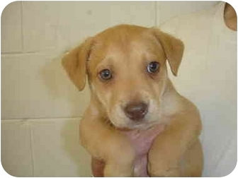 Boxer/Hound (Unknown Type) Mix Puppy for adoption in Old Bridge, New Jersey - Baron