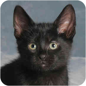 Domestic Shorthair Kitten for adoption in Chicago, Illinois - Panther Kitten