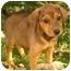 Photo 2 - Beagle/Hound (Unknown Type) Mix Puppy for adoption in Jacksonville, Florida - Cowboy
