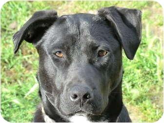 Labrador Retriever/Border Collie Mix Dog for adoption in Sacramento, California - Lexie - Fun Girl!
