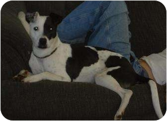 Fox Terrier (Smooth)/Border Collie Mix Dog for adoption in Sacramento, California - Jessie,sweet and playful