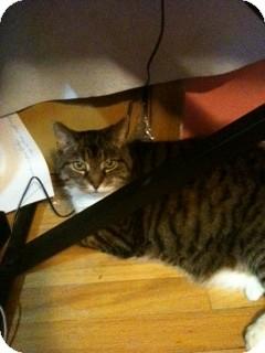 Domestic Shorthair Cat for adoption in Warren, Michigan - Victoria