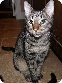 Domestic Shorthair Cat for adoption in Houston, Texas - Rocky