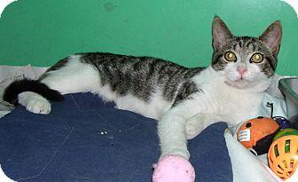Domestic Shorthair Kitten for adoption in Somerset, Pennsylvania - Nyles