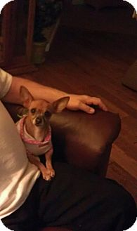 Chihuahua Mix Dog for adoption in Seattle, Washington - Tinkerbelle