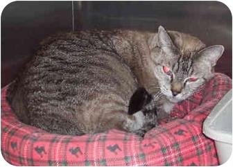 Siamese Cat for adoption in Yorba Linda, California - Mama Lucy