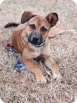 Labrador Retriever/Shepherd (Unknown Type) Mix Dog for adoption in Huntsville, Alabama - Emma