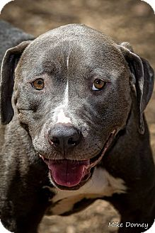 American Staffordshire Terrier Dog for adoption in Westminster, California - Nina