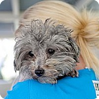 Adopt A Pet :: Grayson - Mission Viejo, CA