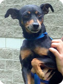 Miniature Pinscher Mix Dog for adoption in Bloomfield, Connecticut - Loon