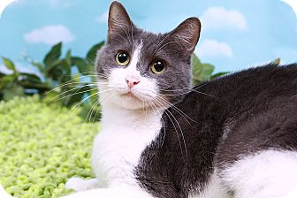 Domestic Shorthair Cat for adoption in Sterling Heights, Michigan - Laney-ADOPTED