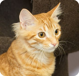 Domestic Shorthair Kitten for adoption in Elmwood Park, New Jersey - Rocky